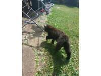 Beautiful Black/brown fluffy kitten