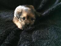 Jack Russel cross Lhasa Apso puppy's