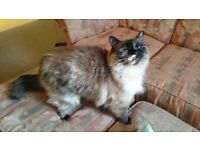 Missing Ragdoll Cat - Kiko - from Adelaide Crescent, Hove