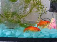 two goldfish n tank with everything £30 OR