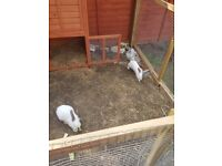 2 giant rabbits with outdoor cage