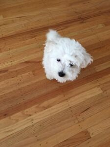 Pure Bichon Ready to Get a New Family