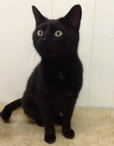 "Adult Female Cat - Domestic Short Hair (Black): ""Olive"""