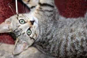 "Baby Female Cat - Domestic Short Hair-Tabby (Brown): ""Tink"""