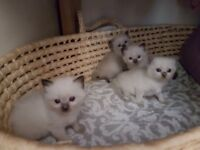 1 beautiful Ragdoll kitten left