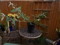 Buddlea plant well established in pots (Butterfly Plant).