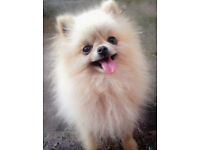 Genuine mini pomeranian male for sale!!!!!!!!!!!!!!!!!!!! XXS