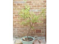 PLUM TREE 5 YEARS OLD AND GROWN FROM SEED