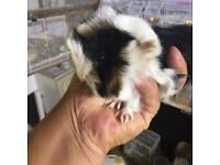 Baby girl Guinea pig each