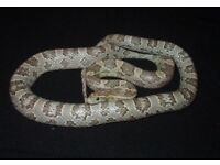 Ghost corn snake