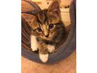 Beautiful Tabby kittens with lovely temperaments