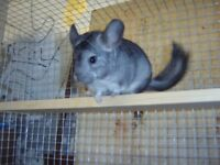 CHINCHILLA FOR SALE, 3 MONTHS OLD GREY FEMALE.