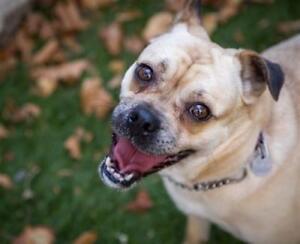 "Adult Female Dog - Pug-Beagle: ""Bebe"""