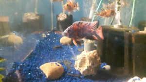 small town cichlids