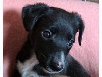 Gorgeous Lurcher Puppies