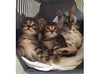 Full Bengal kittens