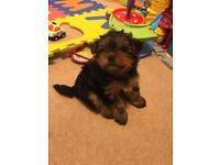 Miniature Yorkshire terrier girl puppy
