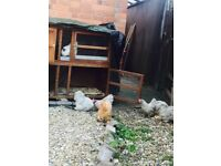 Chicken ( 4 females and 2 male) with cage