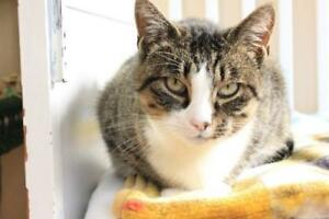 "Adult Female Cat - Tabby-Domestic Short Hair: ""Tilly"""