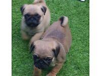 Pug puppies!
