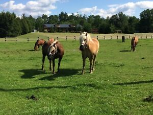 Looking For Horses or Ponies in Brussels Area
