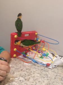 Baby caique for sale
