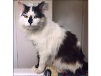 MISSING Black and White long haired cat in Fairwater, Cardiff