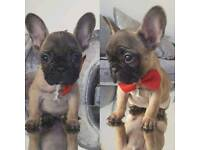 French bulldog pup bitch kc reg