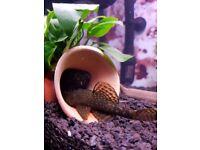 Bristlenose pleco (ancistrus) male ~9cm