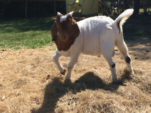 Intact Male Boer Goat Kid For Sale
