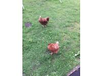 Chickens (hens)