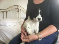 Cocker Spaniel Puppy (Male) for Sale