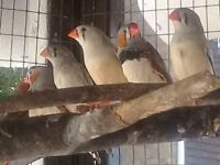 10x young mixed Zebra Finches £30 the lot