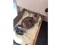 2 bengal cats male and female £50 each still for sale