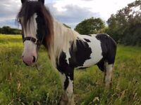 Coloured Cob Colt 2yr old 12-13hh