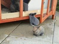 Lion head lop bunnie rabbits