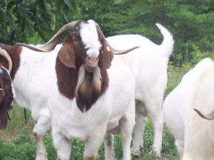 Looking for mature Billy Goat