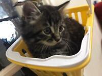 Beautiful silver Persian kitten