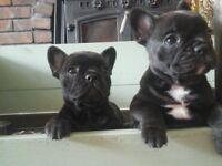 french bulldog puppies stunning litter dagenham essex