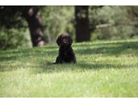 Kennel Club Registered Cocker Spaniel Pups