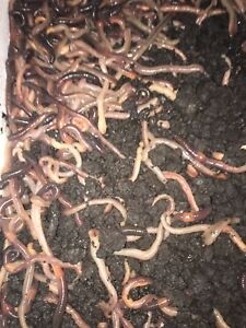 Dew Worms!  Cups of 12 and Flats of 500