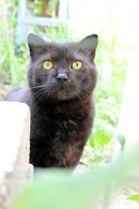 """Senior Male Cat - Domestic Short Hair (Black): """"Al Catcino"""""""