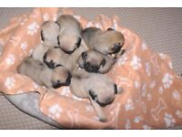 Beautiful pedigree Pug puppies for sale
