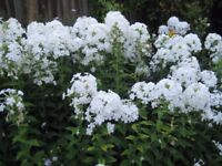 PERENNIAL PHLOX WHITE ONLY - POTTED BUT ALSO OUT OF GARDEN