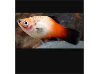 Platy for sale!
