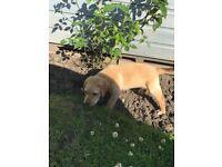 9 week old golden Labrador male dog