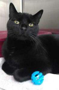 "Adult Male Cat - Domestic Short Hair: ""Buddy"""