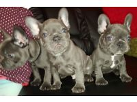 French bulldog puppies Solid Blue 9 weeks old