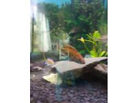 Tropical fish cichlids