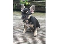 Chocolate and tan French Bulldog boy